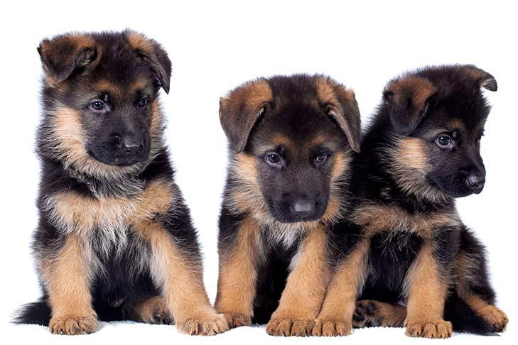 German Shepherd Puppies sitting in a row looking cute